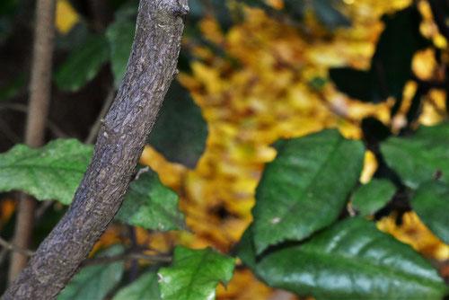 ナワシログミ,樹木,なわしろぐみ