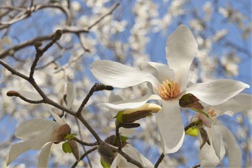 コブシの花,庭木図鑑
