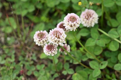 クローバーの花,画像