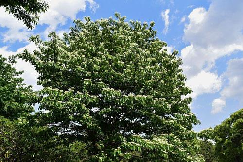 ミズキ(水木) - 庭木図鑑 植木ペディア