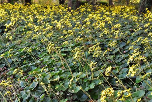 石蕗の花,黄色い花,つわぶき