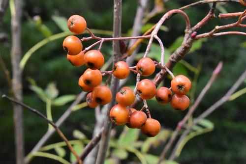 fruits of Japanese Rowan