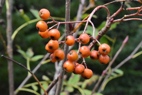 fruits of Japanese Rowan