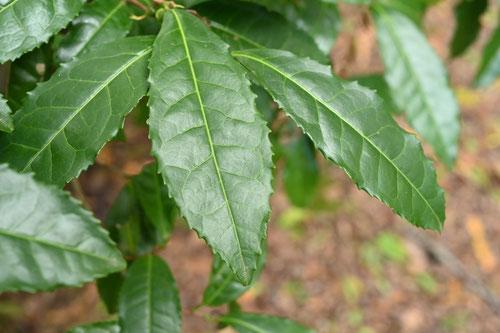 お茶の木の葉っぱ