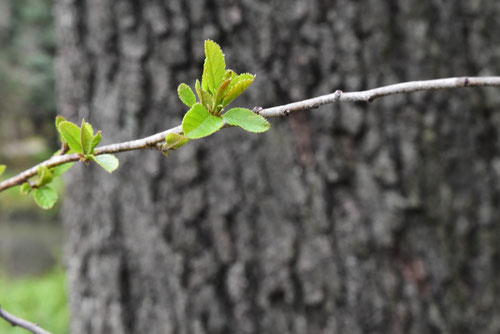 榛の木,葉っぱ