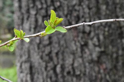榛の木,葉っぱ,はんのき