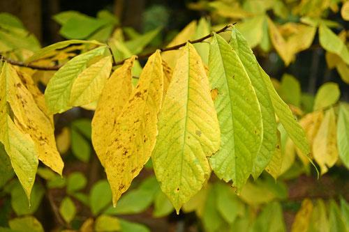pawpaw leaf