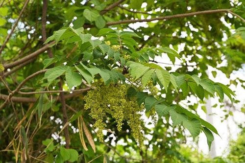 山漆の木,花