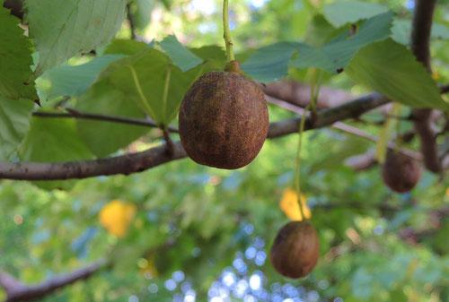 ハンカチの木 実