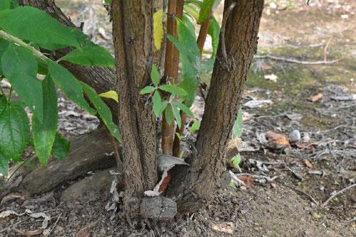フサフジウツギ 植木