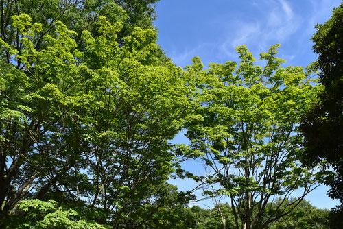 タモの木,種類