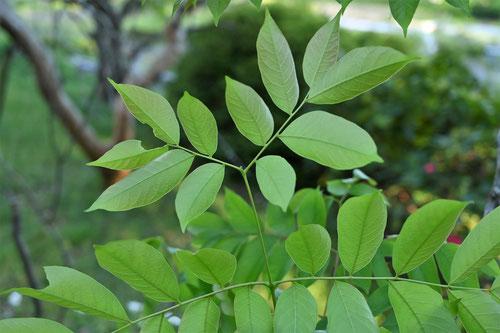フクロミモクゲンジ 葉
