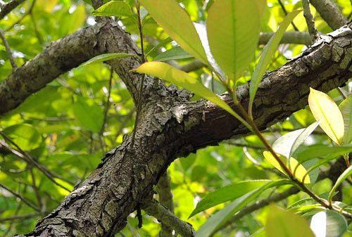 カナメモチ 樹皮 幹