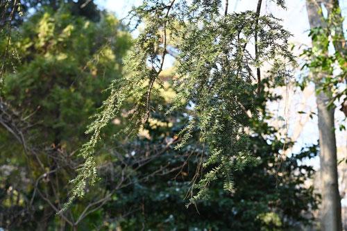 カナダツガ,枝葉