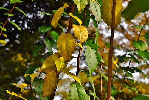 トウグミ,紅葉,黄葉