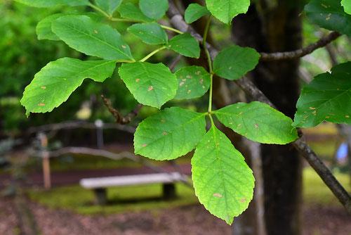 筑紫とねりこ,木,特徴