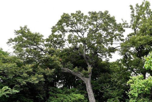 アベマキ 樹木