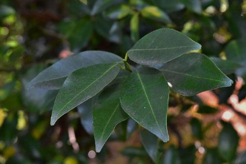 タチバナの木,葉っぱ