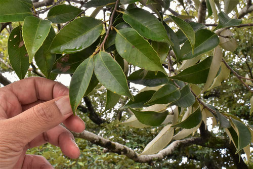 ツブラジイ 葉っぱ 画像
