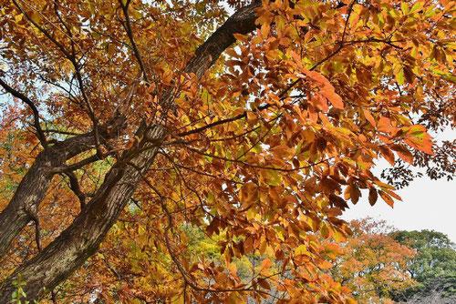 コナラ,画像,樹木