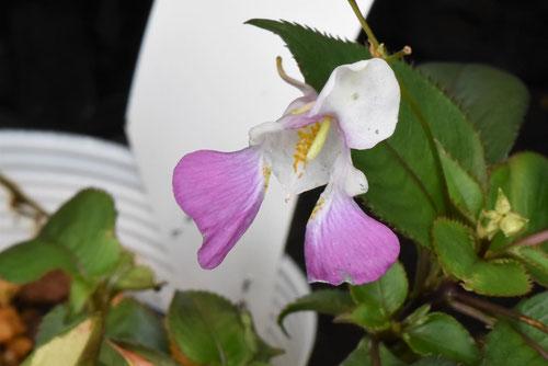 釣船草の花,種類