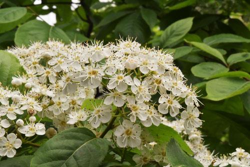 しなかまつかの花
