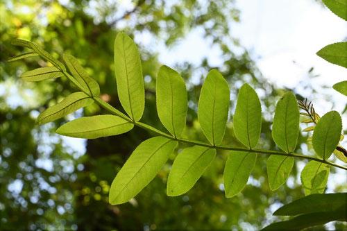 カンポウフウの木
