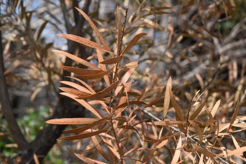 カリステモン,ぶらしのき,葉っぱ,冬