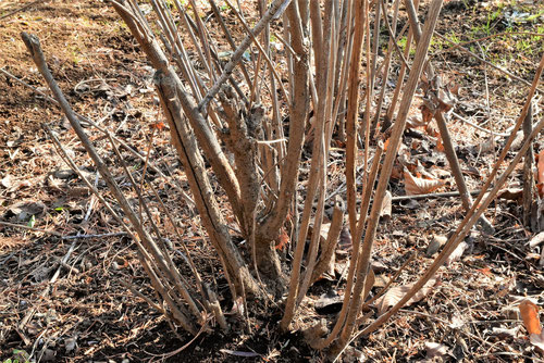 ヤマハギの樹皮