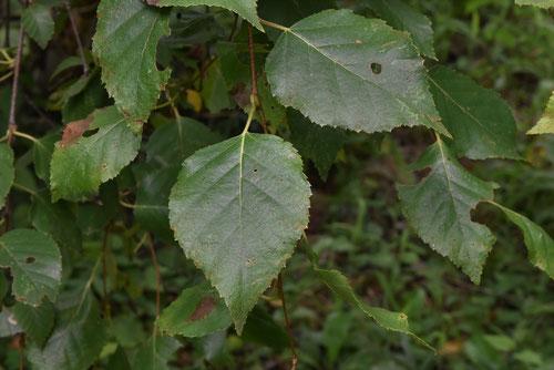 コオノオレ,葉