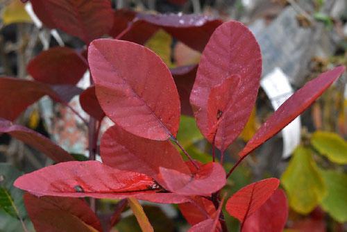 スモークツリー,紅葉