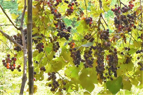 grapevine tree