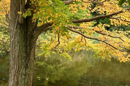 カツラの木 樹木図鑑
