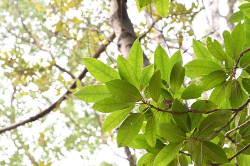 ヒメユズリハの葉