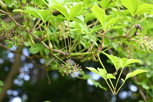 山ウコギの木の実