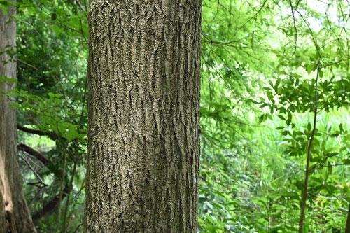 タモ材,樹木