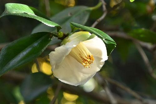 ヤブツバキ,花の色