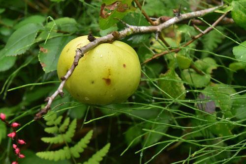 クサボケの果実,画像