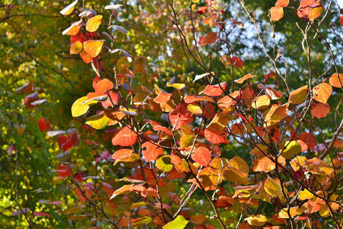 マルバノキ 紅葉