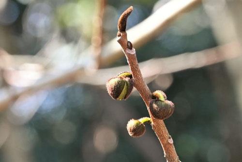 木通柿 冬芽