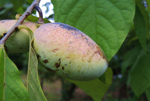 pawpaw,tree,fruits