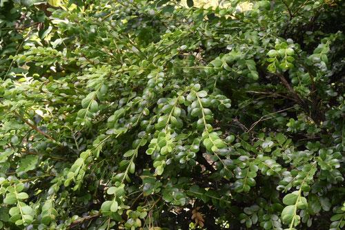 黄楊の木,樹形