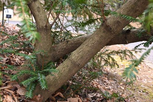 矮鶏ガヤ,樹木