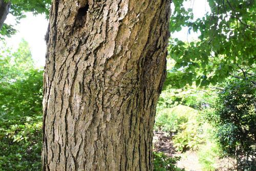 ライラック 樹皮