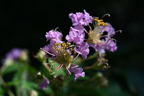 百日紅の花の色,むらさき,開花期