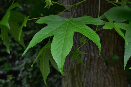 アメリカフウの葉っぱ 写真
