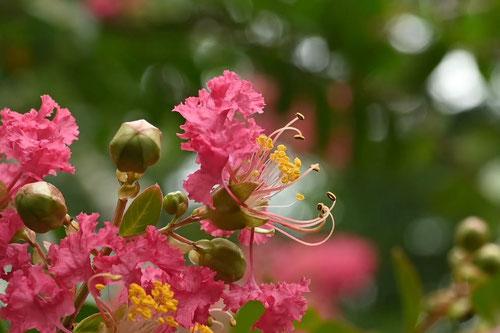 百日紅の木,開花