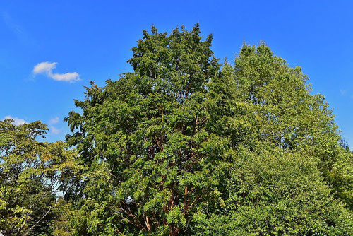 Japanese stuartia,tree