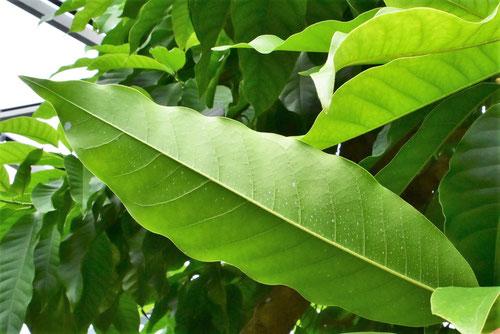 銀朴木,葉