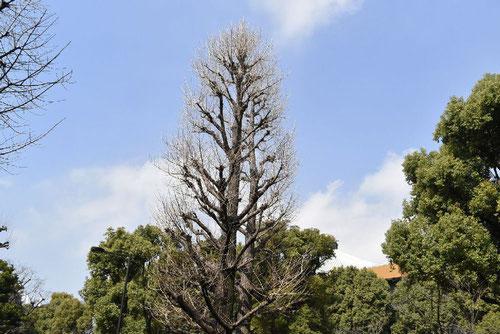 銀杏の木の剪定